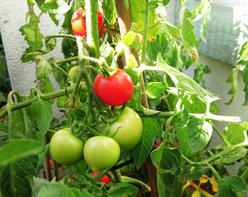 Home Grown Tomatoes - Gallery Image
