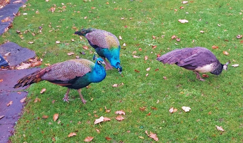 Peacocks at Quex Park, Birchington-on-Sea - Gallery Image